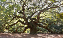 Angle Oak Tree – Majestic Li...