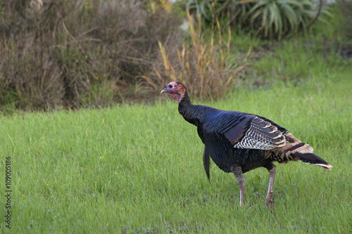 Valokuva  Young wild Tom Turkey walking in a grassy field
