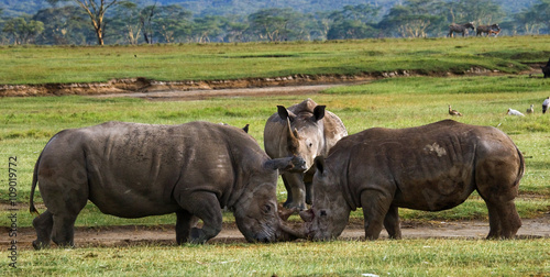 Foto op Plexiglas Neushoorn Two rhinoceros fighting with each other. Kenya. National Park. Africa. An excellent illustration.