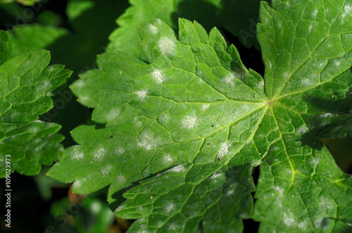 Valokuva  Powdery Mildew of on a leaf of perennials