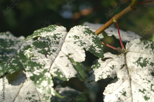 Valokuva  Powdery Mildew of on a leaf of the tree