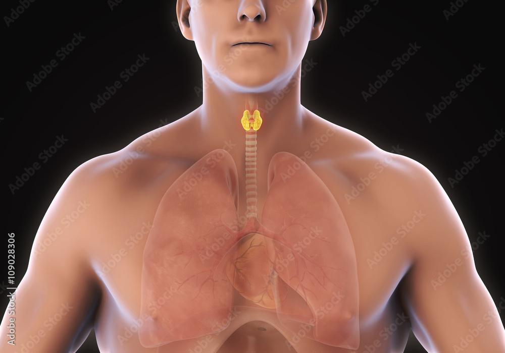 Photo Art Print Human Thyroid Gland Anatomy Illustration 3d