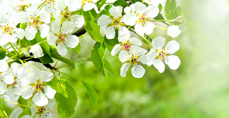 FototapetaCherry apple blossoms over nature background