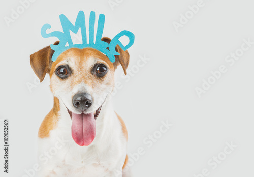 Fototapeta Portrait of cool smart Jack Russell terrier dog looking to you and saying Smile! Requests offers to smile cute pet. Do not leave anyone indifferent! gray ( grey ) background. greeting birthday card obraz na płótnie