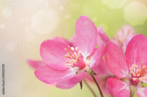 Fototapety, obrazy: red flower Apple tree in blossom closeup background