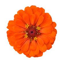Orange Flower Isolated On White Background
