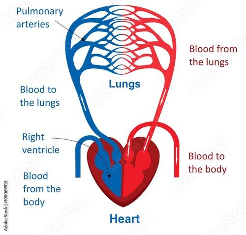 Fotografía  The heart and circulatory system