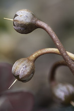 Cyclamen Seed Heads