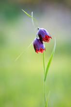 Nice Wild Violet Tulip Flowers