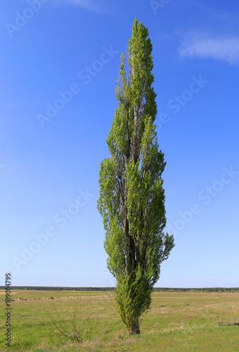 Fotografia alone poplar tree