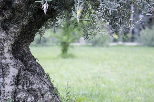 Fond de hotte en verre imprimé Oliviers olivier