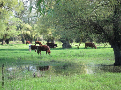 Spoed Foto op Canvas Khaki Herd of cows grazing in a pasture flooded high spring waters on the Danube river