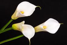 White Calla Lilies Over Black ...
