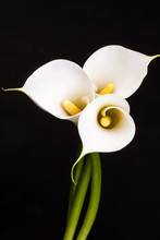 White Calla Lilies Over Black Background.