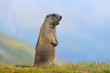 canvas print picture - Murmeltier in den Alpen - marmot in the alps 68