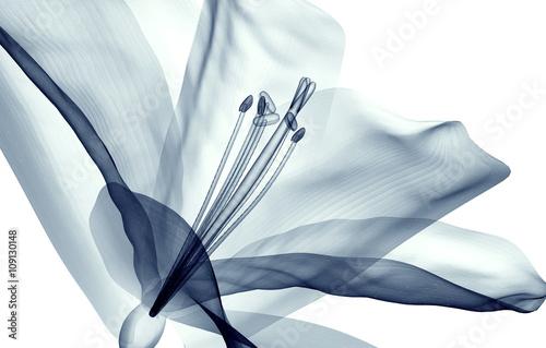 Fotografie, Obraz  x-ray image of a flower isolated on white , the Amaryllis
