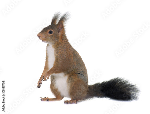 Foto op Canvas Eekhoorn Eurasian red squirrel