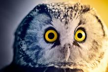 Boreal Owl At Sunrise