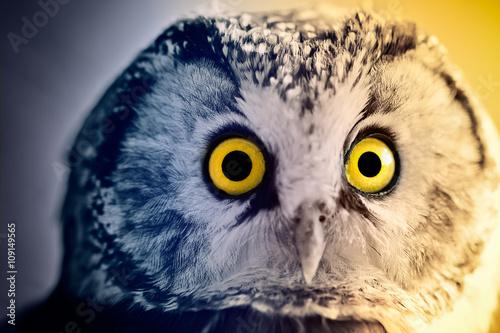 Boreal Owl at sunrise Canvas-taulu