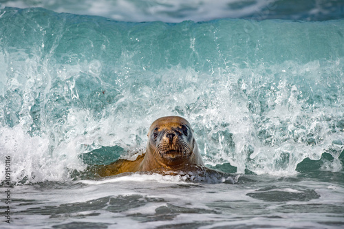sea lion on foam and sea wave Poster
