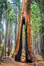 Gap In Giant Redwood Tree, Yosemite National Park, California, USA