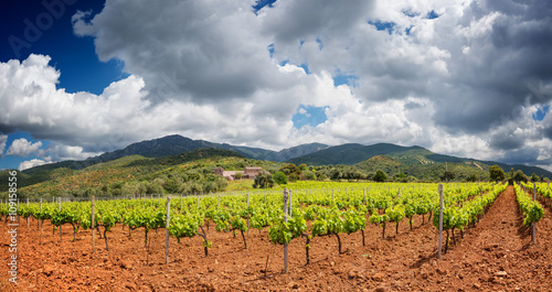 Lush vineyard in the countryside