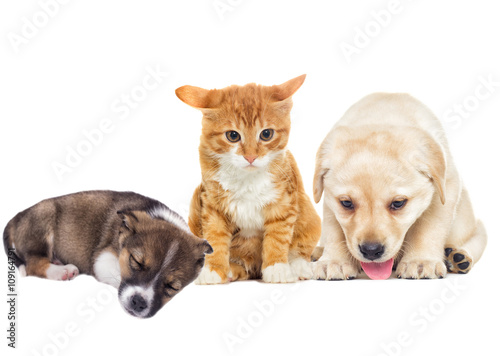 Poster Chien funny labrador puppy and kitten