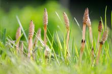 Field Horsetail (Equisetum Arv...
