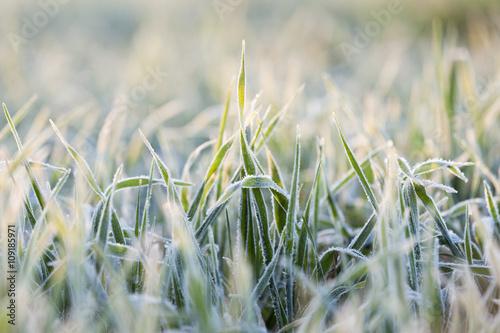 Fotografia wheat during frost