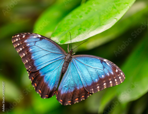 Fotografie, Obraz  Peleides Blue Morpho on leaf