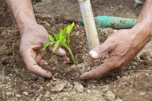 Fotografie, Obraz  mani di un contadino che mette a dimora una pianta di pomodoro