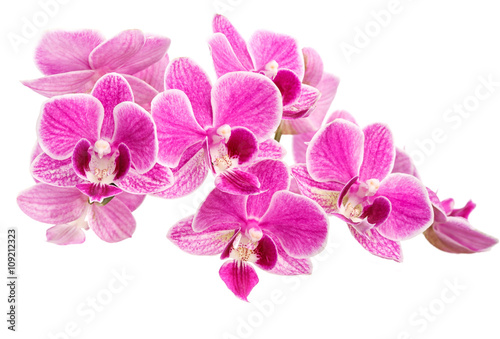 rozowa-orchidea-na-bialym-tle