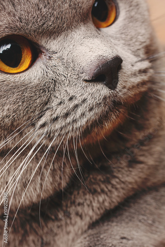 Photo Stands Hand drawn Sketch of animals portrait of British Shorthair cat