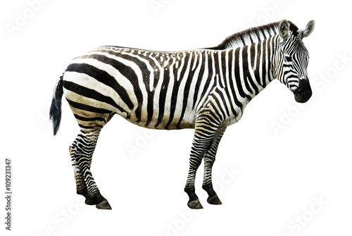 Poster Zebra Zebra isolated on white background, cutout