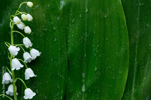 Deurstickers Lelietje van dalen white flower Lily of the valley on a background of green leaves in drops of water. with space for text