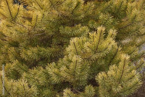 Fotografia, Obraz  Gold coin golden scotch pine (Pinus sylvestris Gold coin)