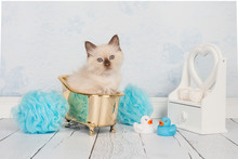 Cute Rag Doll Baby Cat In A Golden Bathtub In A A Blue And White Bathroom Setting