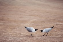 Laughing Gulls (Leucophaeus At...