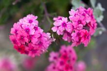 Verbena Flowers On Bokeh Backg...