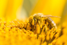 Honey Bee Pollinating Covered With Pollen On Yellow Sunflower. The Animal Is Sitting On A Flower In Summer Or Autumn Time. Many Little Orange Pollen On Its Body. Important For Environment And Ecology