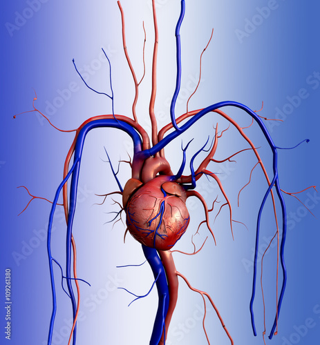 Heart model, Full clipping path included, Human heart for