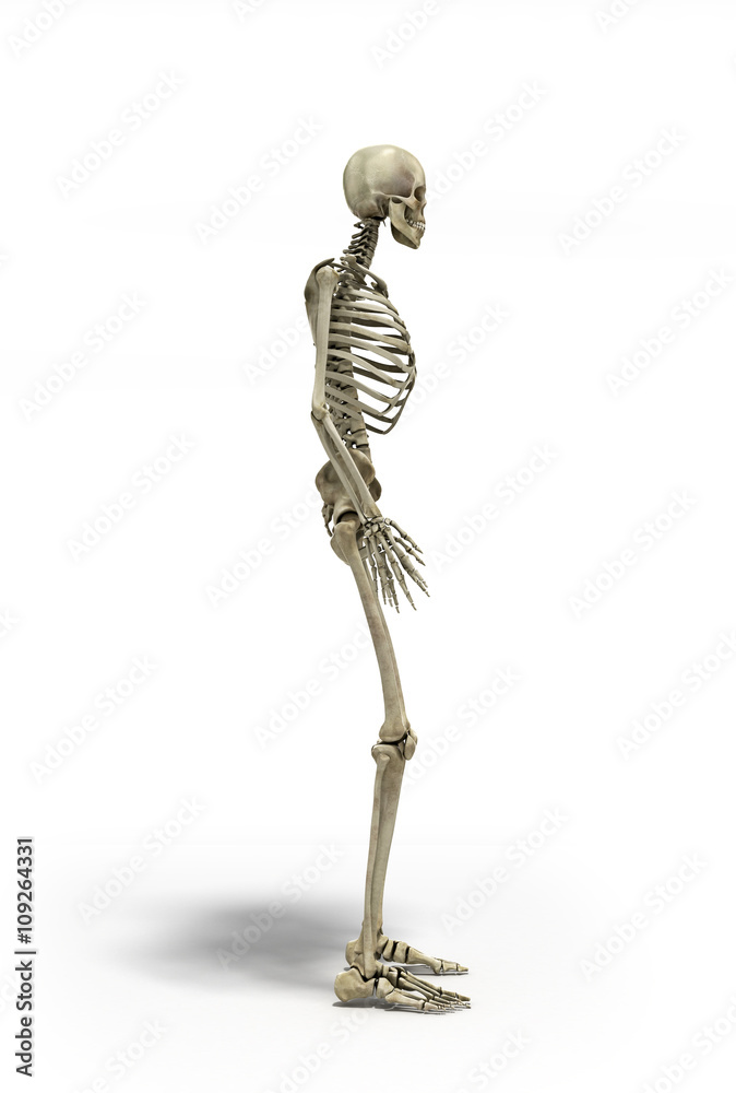 Medical Accurate 3d Illustration Of The Human Skeleton Foto Poster