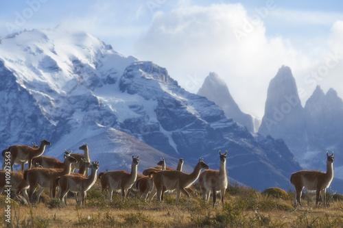 stado-guanako-lama-na-zboczu-w-torres-del-paine-parku-narodowym-w-magallanes-regionie-poludniowy-chile-lama-guanicoe