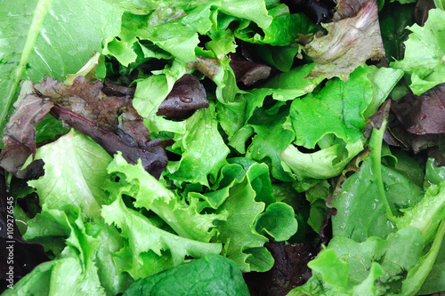 close up on fresh lettuce leaves for salad Canvas Print