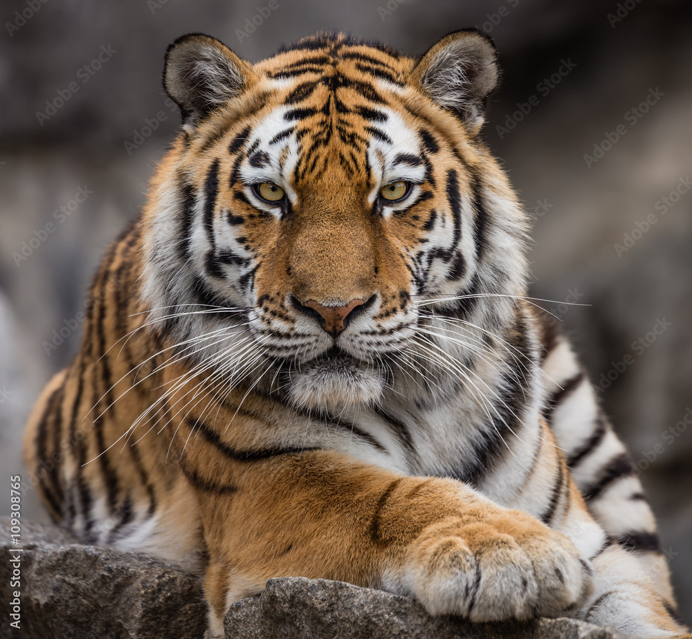 Frontal close up view of a Siberian tiger (Panthera tigris altaica)