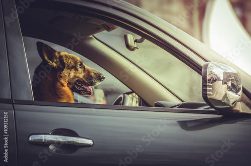 Valokuva  Side portrait of a happy German shepherd dog sitting in the driver seat