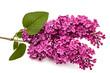 Twig purple lilac, Syringa vulgaris, isolated on white backgroun