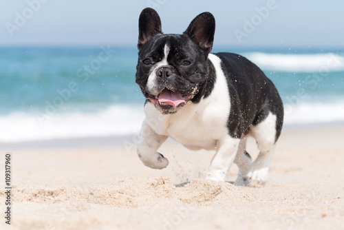 Poster de jardin Bouledogue français French bulldog on the beach