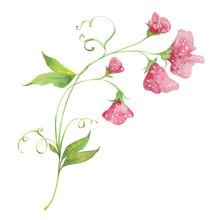 Watercolor Sweet Pea