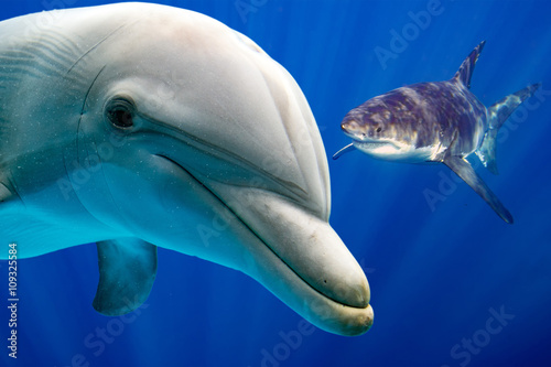 white shark and dolphin underwater - 109325584